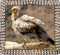 Eagle Bearded Vultures