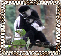 Colobus Monkey in Omo Valley